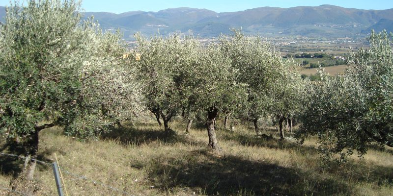 It all started in the Italian olive groves